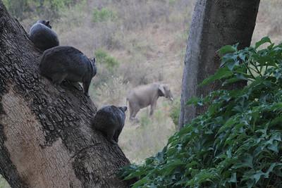Bush Hyraxes watching a Bush Elephant