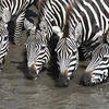 Common Zebra :