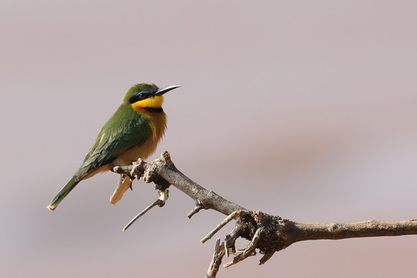 Kingfishers, Bee-eaters, Rollers, & Hornbills