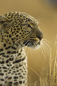 """Glimpse of a Leopard"" - Multiple Award Winner"