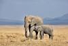 An Elephant calf nursing.
