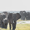 Elephant herd, Amboseli National Park, Kenya
