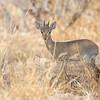 Dik-Dik, Samburu Game Preserve, Kenya