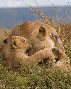 """Play Time"" - Award Winner.  This African Lioness and her cub are members   of the Marsh Pride from BBC's Big Cat Diary."