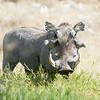 Warthog, Samburu Game Preserve, Kenya