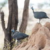 Helmeted Guineafowl on termite mound, Samburu Game Preserve, kenya