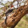 Van Der Decken's Hornbill, Samburu Game Preserve, Kenya