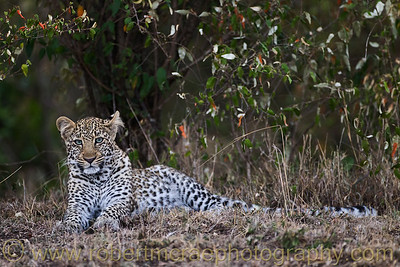 """""""Bahati - The Lucky One"""", a one year old Leopard cub."""