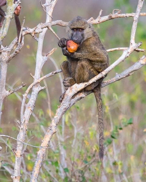 Baboon with fruit, Samburu Game Preserve, Kenya