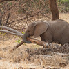 Elephant calf with log, Samburu Game Preserve
