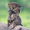 Young Baboons at play, Lake Nakuru National Park, Kenya