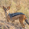 Black-backed Jackal, Samburu Game Preserve, Kenya