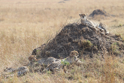 Mother and cub Cheetahs
