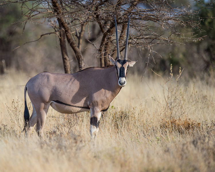 Oryx, Samburu National Park, Kenya