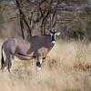 Oryx, Samburu National Park, Kenya