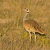 White-Bellied Bustard, Amboseli National Park, Kenya