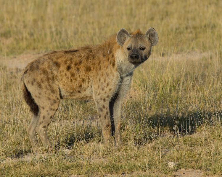 Spotted Hyena, Amboseli National Park, Kenya