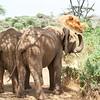 Elephant dusting, Samburu Game Preserve, Kenya