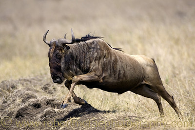 """Wildebeest on the Run"" - Award Winner"