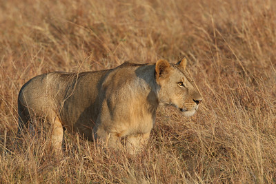 Young male Lion on the hunt