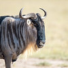 Wildebeast, Amboseli National Park, Kenya