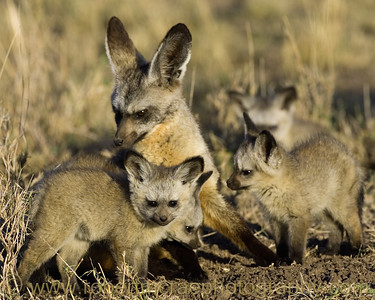 """Bat-eared Fox Family"" - Award Winner"