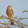 Common Kestrel, Samburu Game Preserve, Kenya