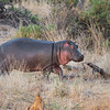 Young hippo, Samburu Game Preserve, Kenya