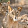 Lioness, Samburu Game Preserve, Kenya