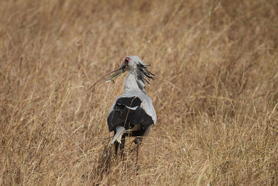 Secretary Bird with a lizard