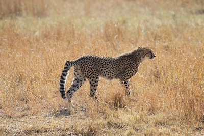 Young Cheetah with a broken tail