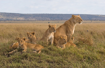 """Pride of the Pride"" - Multiple Award Winner.  This African  Lioness and cubs are part of the Marsh Pride from BBC''s Big Cat Diary."