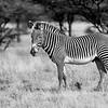 Grevy's Zebra, Samburu Game Preserve, Kenya