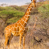 Reticulated Giraffe, Samburu Game Preserve, Kenya