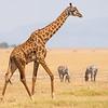 Masai Giraffe, Amboseli National Park, Kenya
