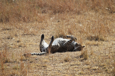 Cheetah rolling in the dirt