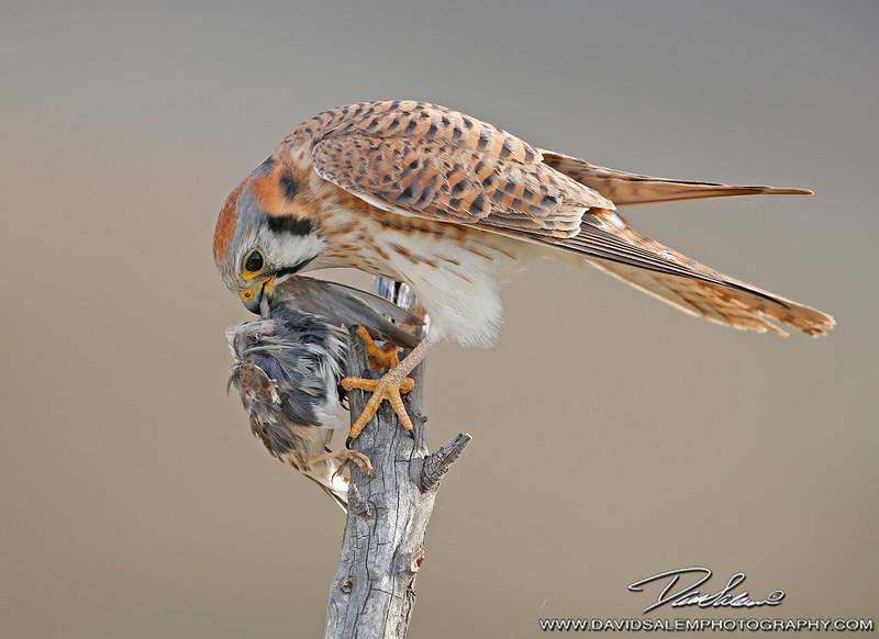 American kestrel with Savannah sparrow