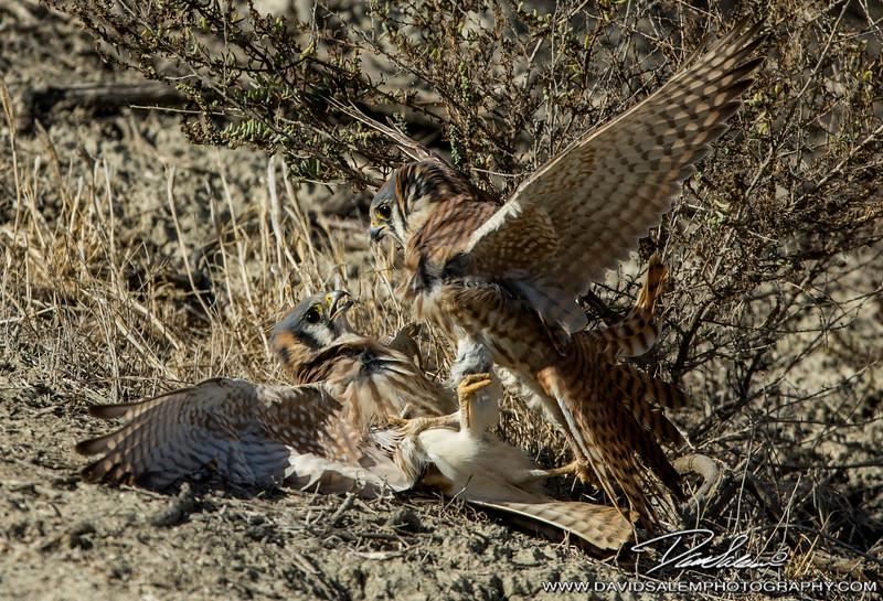 American kestrels fighting