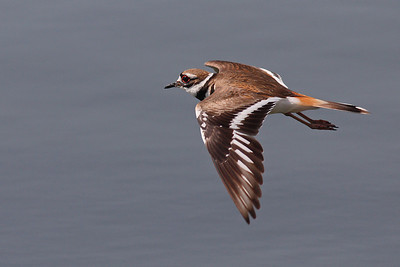 Kildeer in flight  400mm f5.6L