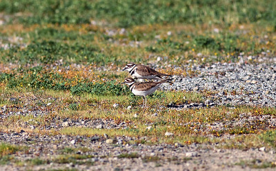 Mating Rituals of Kildeer