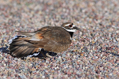"Killdeer doing the ""broken wing distraction"""