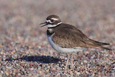 A noisy Killdeer