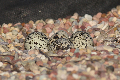 4 Killdeer Eggs