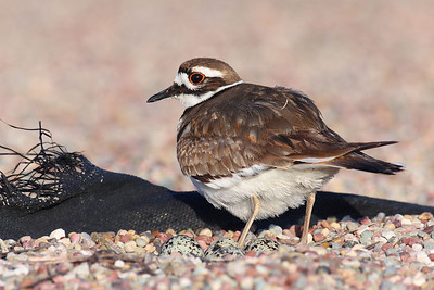 Mommy Killdeer with her eggs