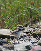 These Killdeer chicks are always wandering around.  I don't know how Mom and Dad keep track of them.    (4/14/2014)