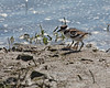 Killdeer Siblings on the shoreline.  There's a bit of difference in their sizes now.   (4/14/2014)