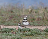 Little chick walks by one of the watchful parents. (Killdeer)    (4/12/2014)
