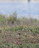The other end. (Killdeer chick)    (4/12/2014)