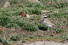 The eyes on these birds are set so they can see way to the back also  (Killdeer).    (4/12/2014)