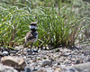 Wandering off into the plants (Killdeer chick)   (4/14/2014)